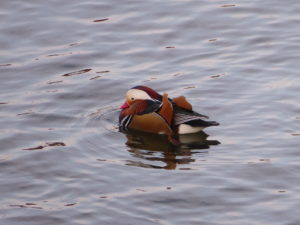 Vinterfåglar vid Stockholms Ström